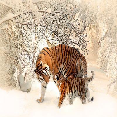 نمر الببر