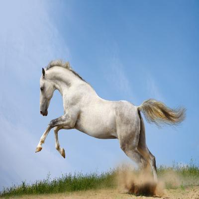حصان أبيض