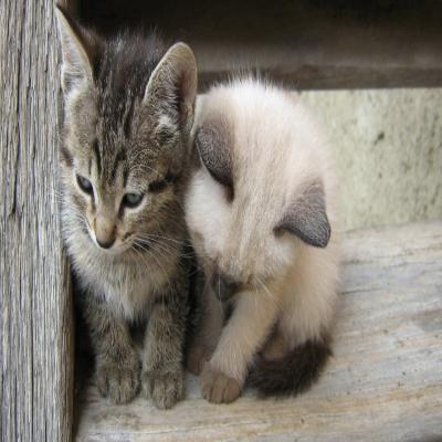 قطتين